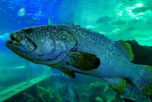 Grouper Fish In Aquarium