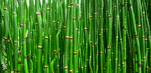Foto op Plexiglas Groene Beautiful bamboo texture background. Green asian plants.