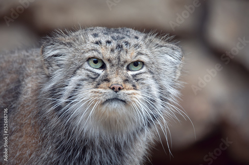 Vászonkép portrait of beautiful cat, Pallas's cat, Otocolobus manul resting
