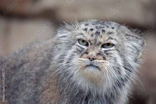Photo sur Toile Amsterdam portrait of beautiful cat, Pallas's cat, Otocolobus manul resting. Small wild cat with a broad but fragmented distribution in the grasslands and montane steppes of Central Asia