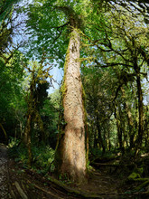 Trunk And Crown Of High Maple In The Rainforest
