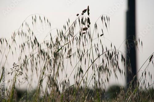 Fotografie, Obraz  steli d'erba con semi al tramondo