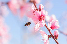 Honey Bee Fly In Almond Flower...