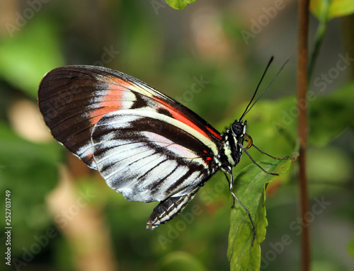 Butterfly on a leaf with pollen on his feeding tube