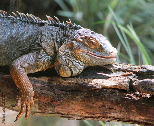 Poster Chamaleon Iguana relaxing in the sun. Iguazu Falls, Brazil.