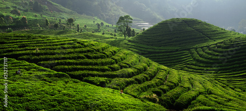 Garden Poster Rice fields Tea Field