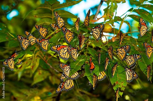 Obraz na plátně Monarch Butterfly  Migration