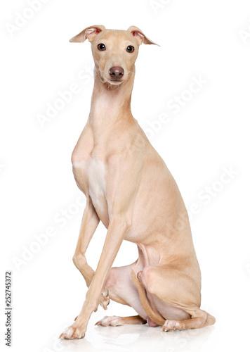 Fotografie, Tablou Italian greyhound Dog  Isolated  on White Background in studio
