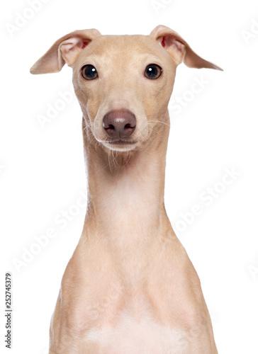 Canvastavla Italian greyhound Dog  Isolated  on White Background in studio