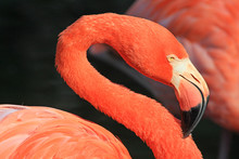 Sinuous Neck Of Flamingo