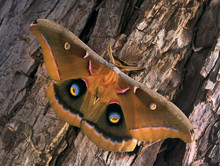 Polyphemus Moth - Antheraea Polyphemus, Beautiful Large American Moth Sits On The Bark