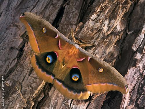 Polyphemus Moth - Antheraea polyphemus, beautiful large American moth sits on th Tablou Canvas
