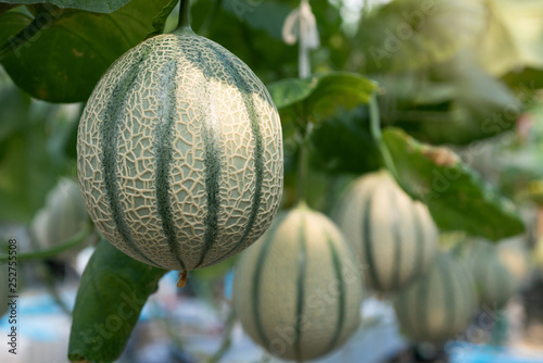 Stampa su Tela Melons growing in modern hydroponic farming