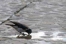 Crow Drinks Water From A Puddle
