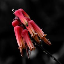 Aloe Jacksonii