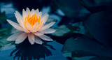 Lotus flower in pond.