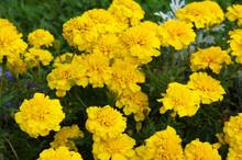 Tagetes Patula Bonanza Yellow French Marigold Many Flowers