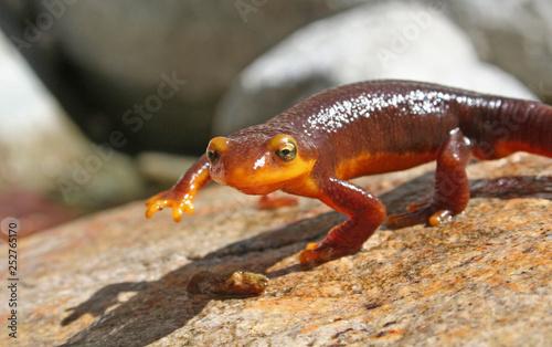 Obraz na plátně California Newt Crawling Taricha torosa
