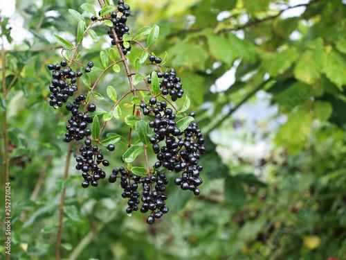 Petites baies d'hiver de couleur noir bleuté sur des rameaux du troène commun (Ligustrum vulgare)