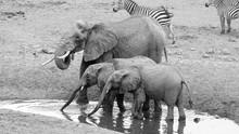 Elephants At Watering Hole - Sarova Salt Lick, Voi, Kenya