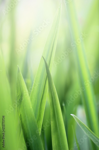 Photo sur Toile Herbe Beautiful nature background with close up green grass in summer or spring.