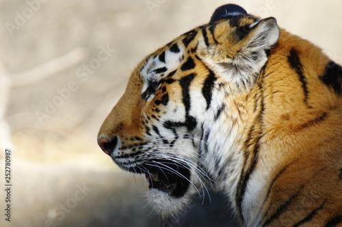 Profil tygrysa
