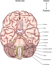 The Cranial Nerves. Twelve Pairs Of The Cranial Nerves Emerge From The Base Of The Human Brain. Anatomy Of The Central Nervous System