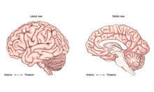 The Human Brain. Side View. Illustration. Realistic Image The Correct Medical