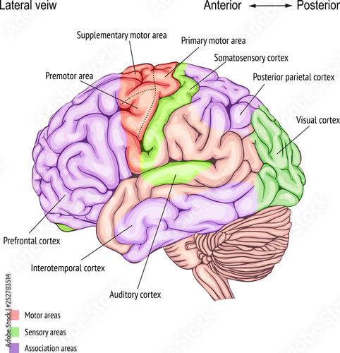 Foto  anatomy of the human brain