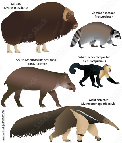 Valokuva  Collection of animals living in the territory of North and South America: muskox