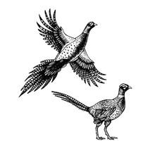 Hand Drawn Pheasant. Skethes O...