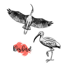 Hand Drawn Ibis. Skethes Of Birds. Vector Vintage Illustration.