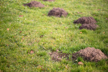Molehills In The Yard, Lawn Da...