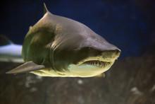 Shark With Big Teeth In A Huge...