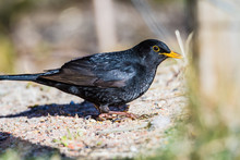 Blackbird On The Ground