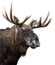 Moose (or Elk) Isolated On White.