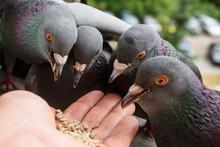 Hand Feeding Pigeons