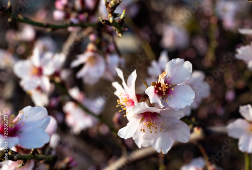 Photo  Almond blossom in spring and unfocused background