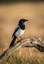 The Eurasian Magpie Or Common Magpie Or Pica Pica Is Sitting On The Branch With Colorful Background And Nice Soft Light