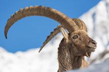 Magnifico Ritratto Di Uno Stambecco (Capra Ibex)