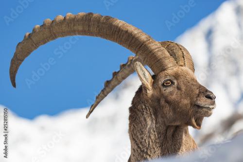 Tablou Canvas Magnifico ritratto di uno stambecco (Capra ibex)