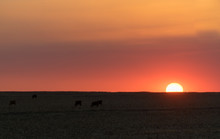 Sunsets Over A Cattle Farm In The Orange Freestate Of South Africa