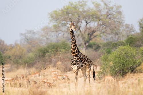 Poster Giraffe Giraffe King