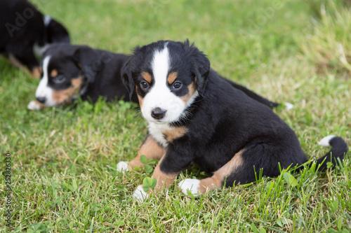 Foto  Swiss Appenzeller dog puppies sitting in the garden