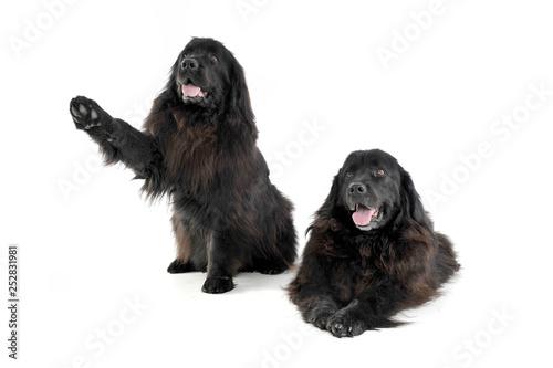 Fotografia two Nice Newpoungland dog in a white photo studio background, hand up