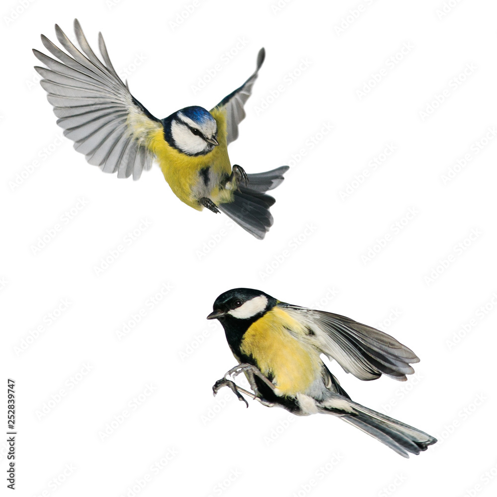 Fototapety, obrazy: two birds tit and blue tit flying isolated on white background in various poses and types