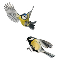 Two Birds Tit And Blue Tit Flying Isolated On White Background In Various Poses And Types