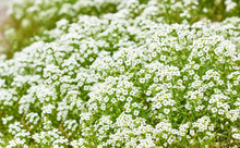 Lobularia Plant On Bed, White Flowers Growing Outdoors In The Garden, Close-up, Background Texture, Copy Space, Alyssum Genus Concept