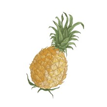 Elegant Realistic Drawing Of Whole Fresh Organic Pineapple Isolated On White Background. Tasty Exotic Tropical Juicy Sweet Wholesome Fruit. Natural Hand Drawn Vector Illustration In Vintage Style.