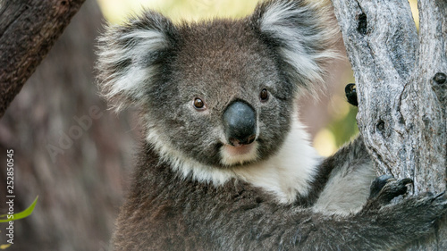 Recess Fitting Koala Koala bear in eucalyptus tree, portrait